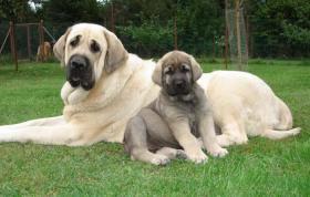 Foto 3 Spanischer Mastiff Mastibe