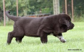 Foto 5 Spanischer Mastiff Mastibe