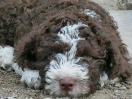 Foto 3 Spanischer Wasserhund mit FCI Stammbaum