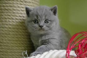 Spitzen Kätzchen BKH mit Stammbaum abzugeben