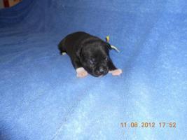 Foto 2 Staffordshire Bullterrier