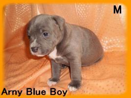 Foto 3 Staffordshire bullterier - Blaue Welpen zu verkaufen