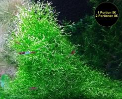 Sternlebermoos, Aquarienpflanzen, Versand