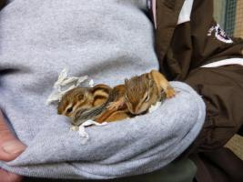 Streifenhörnchenbabys sehr zahm