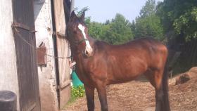 Suche Pferdebox in Hannover für Westfalen Hengst