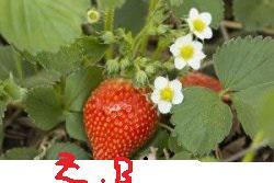 Suche Pflanzen Himbeere oder Erdbeeren in 57234