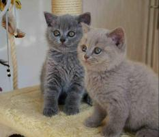 Foto 2 Süsse BKH Kitten mit Stammbaum in gold tabby, silver tabby