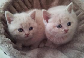 Süße BKH Kitten suchen ab August ein neues Zuhause