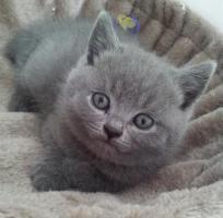 Foto 2 Süße BKH Kitten suchen ab August ein neues Zuhause