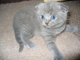 Foto 2 Süße BKH Scottish Fold Kitten