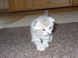 Foto 4 Süße BKH Scottish Fold Kitten