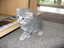 Foto 5 Süße BKH Scottish Fold Kitten