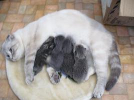 Foto 6 Süße BKH Scottish Fold Kitten