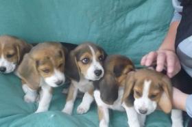 Süsse Beagle Welpen zu verkaufen!-KOSTENLOSE LIEFERUNG!