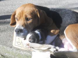 Foto 8 Süsse Beagle Welpen zu verkaufen!-KOSTENLOSE LIEFERUNG!