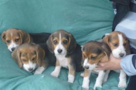 Foto 17 Süsse Beagle Welpen zu verkaufen!-KOSTENLOSE LIEFERUNG!