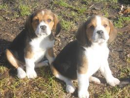 Foto 2 Süsse Beagle Welpen zu verkaufen!-KOSTENLOSE LIEFERUNG