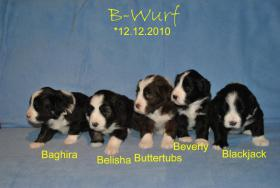 Süsse Bearded-Collie Welpen suchen ab 10. Februar 2011 ein liebevolles Zuhause