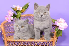 Foto 2 Süße Britisch Kurzhaar / Kartäuser / BKH / Kitten in blau mit Stammbaum!