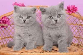 Foto 4 Süße Britisch Kurzhaar / Kartäuser / BKH / Kitten in blau mit Stammbaum!