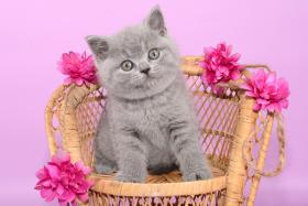 Foto 5 Süße Britisch Kurzhaar / Kartäuser / BKH / Kitten in blau mit Stammbaum!
