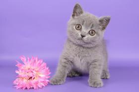 Foto 6 Süße Britisch Kurzhaar / Kartäuser / BKH / Kitten in blau mit Stammbaum!