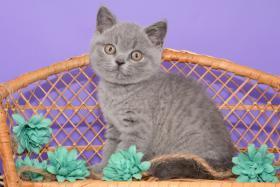 Foto 7 Süße Britisch Kurzhaar / Kartäuser / BKH / Kitten in blau mit Stammbaum!