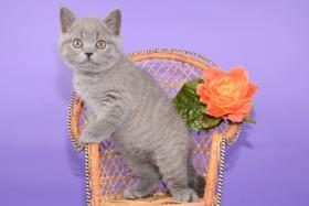 Foto 8 Süße Britisch Kurzhaar / Kartäuser / BKH / Kitten in blau mit Stammbaum!