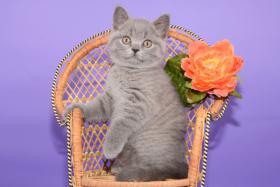 Foto 9 Süße Britisch Kurzhaar / Kartäuser / BKH / Kitten in blau mit Stammbaum!
