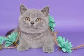 Foto 10 Süße Britisch Kurzhaar / Kartäuser / BKH / Kitten in blau mit Stammbaum!