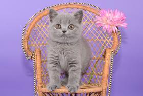 Foto 11 Süße Britisch Kurzhaar / Kartäuser / BKH / Kitten in blau mit Stammbaum!