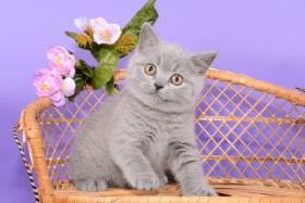 Foto 12 Süße Britisch Kurzhaar / Kartäuser / BKH / Kitten in blau mit Stammbaum!