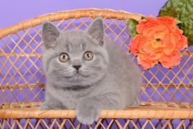 Foto 13 Süße Britisch Kurzhaar / Kartäuser / BKH / Kitten in blau mit Stammbaum!