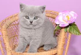Foto 14 Süße Britisch Kurzhaar / Kartäuser / BKH / Kitten in blau mit Stammbaum!