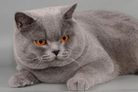 Foto 15 Süße Britisch Kurzhaar / Kartäuser / BKH / Kitten in blau mit Stammbaum!