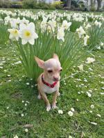 Süße Chihuahua Junghündin zu verkaufen