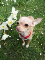 Foto 2 Süße Chihuahua Junghündin zu verkaufen