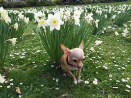 Foto 4 Süße Chihuahua Junghündin zu verkaufen