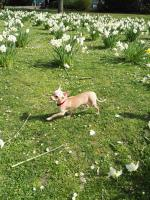 Foto 5 Süße Chihuahua Junghündin zu verkaufen