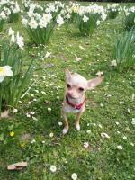 Foto 6 Süße Chihuahua Junghündin zu verkaufen