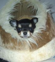 Foto 2 Süße Chihuahua-Welpe sucht bald ein liebevolles Zuhause