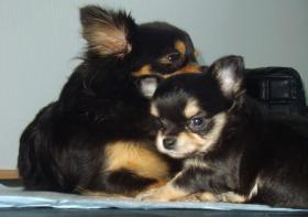 Foto 5 Süße Chihuahua-Welpe sucht bald ein liebevolles Zuhause