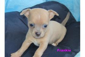 Süße Chihuahua-Welpen-Rüden in KH/LH aus VDH-Zucht