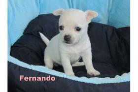 Foto 2 Süße Chihuahua-Welpen-Rüden in KH/LH aus VDH-Zucht
