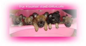 Süsse Chihuahua Welpen zu Verkaufen