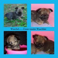 Foto 4 Süsse Chihuahua Welpen zu Verkaufen