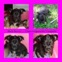 Foto 5 Süsse Chihuahua Welpen zu Verkaufen