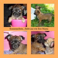 Foto 6 Süsse Chihuahua Welpen zu Verkaufen