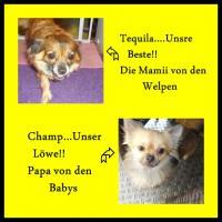 Foto 7 Süsse Chihuahua Welpen zu Verkaufen