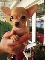 Süße Chihuahua Welpen zu verkaufen